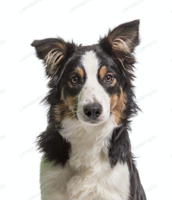 Primer plano de un perro Border Collie, corte