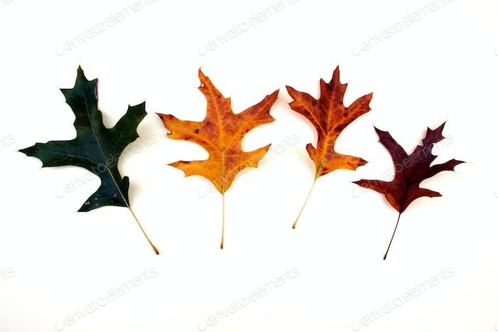 Oak leaf color changes