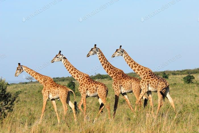 Walking group of giraffes