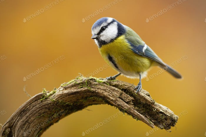 Cute eurasian blue tit sitting on branch in nature