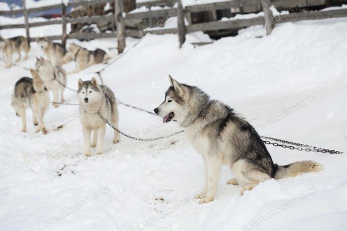 Husky wartet auf das Rennen