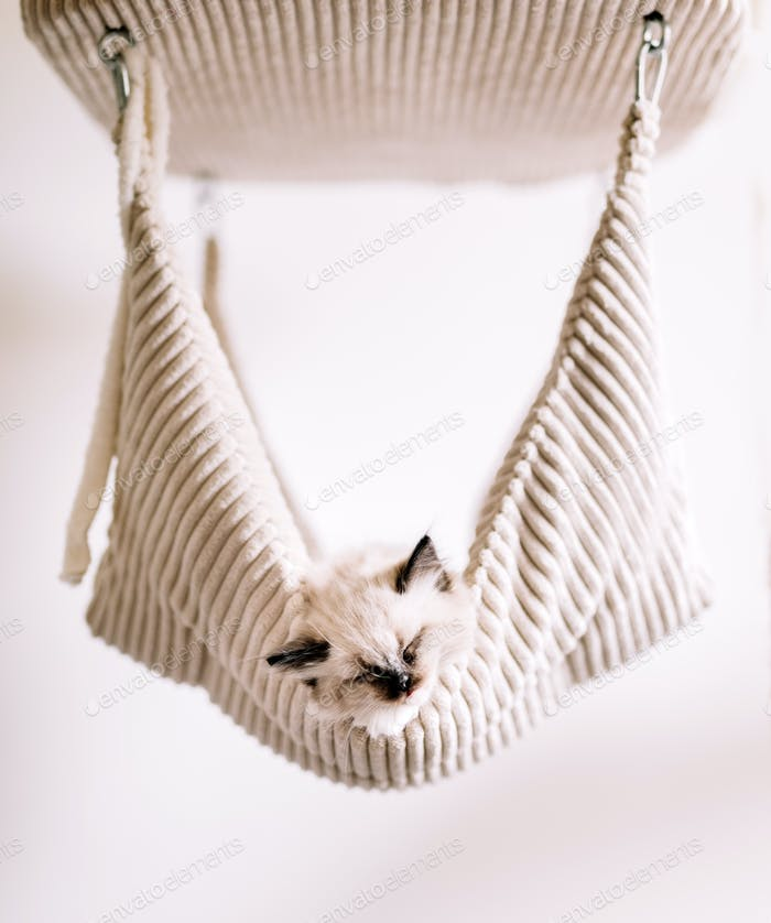 Ragdoll cat, small kitten sleep in hammock
