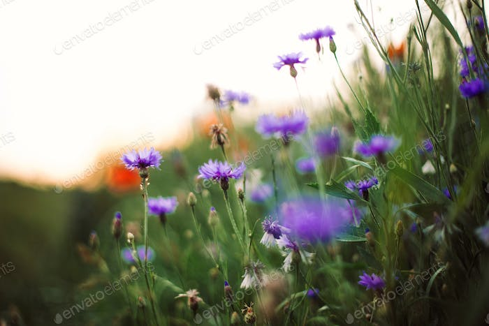Cornflowers and green grass in sunset light in summer meadow, selective focus