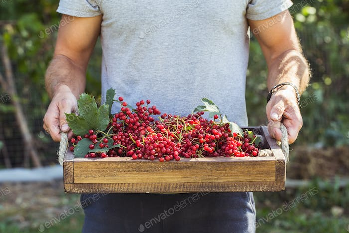 Farmer holds red viburnum berries