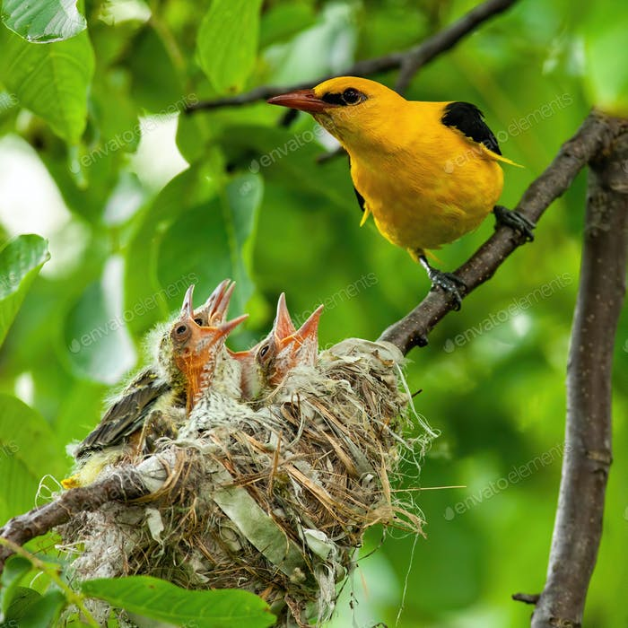Male golden oriole sitting next to nest with young hatchlings