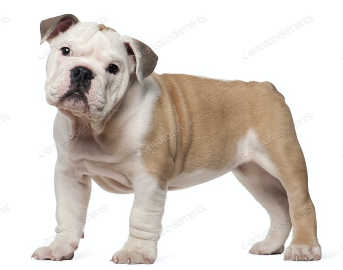 English bulldog puppy, 2 months old, standing in front of white background