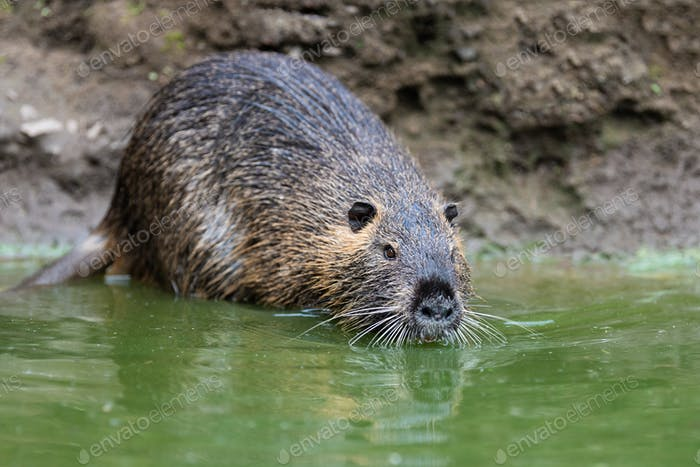 Coypu in river