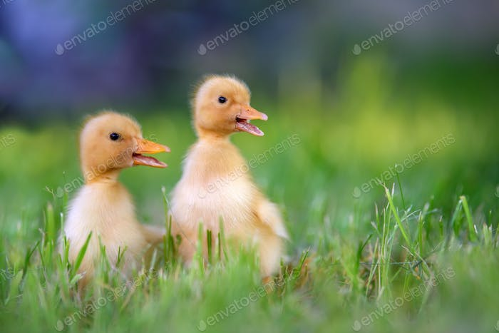 Funny  Little yellow duckling on spring green grass