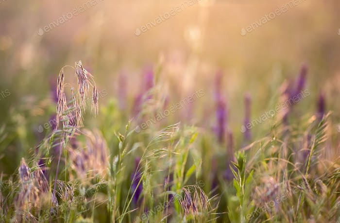 Grass and pollen meadow in the sunset
