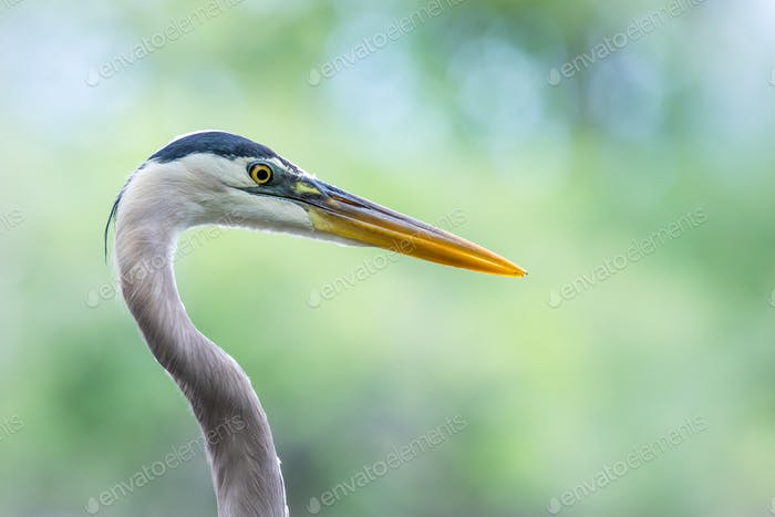 Great Blue Heron - Ardea herodias, a closeup profile with bokeh of trees in the background.