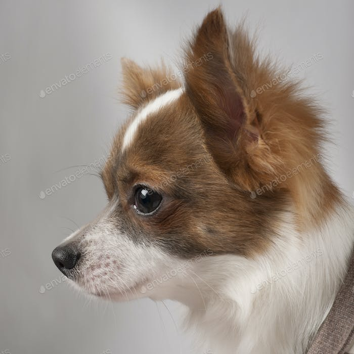 Close-up of Chihuahua, 11 months old, in front of grey background