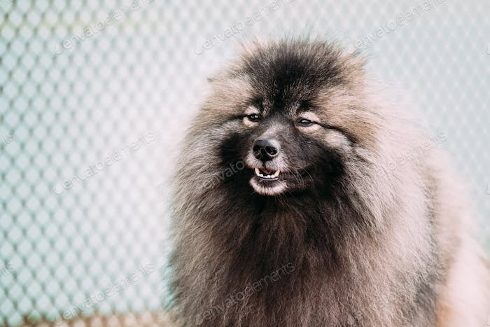 Close of lovely Young Keeshond, Keeshonden dog