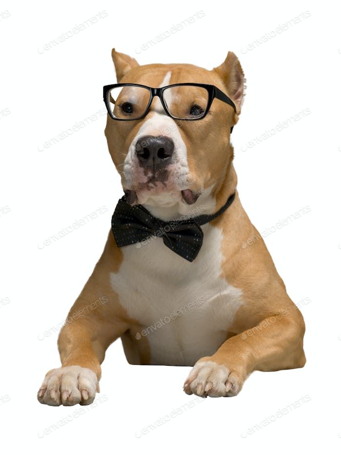 Staffordshire Terrier in a bow tie and glasses, isolated