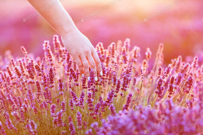 Woman's hand softly touching lavender flowers at sunset.