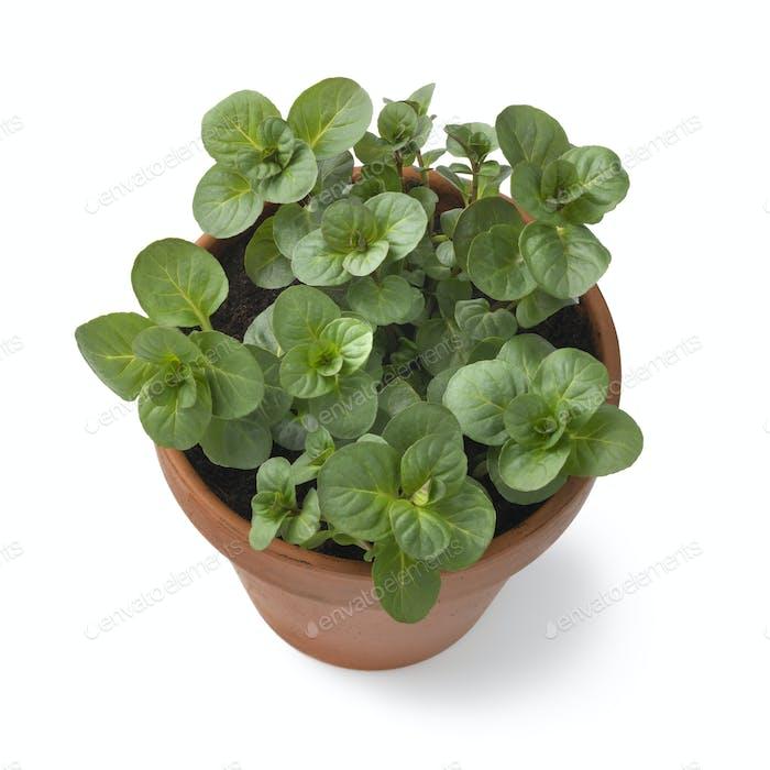 Plant pot with fresh green Orange Mint