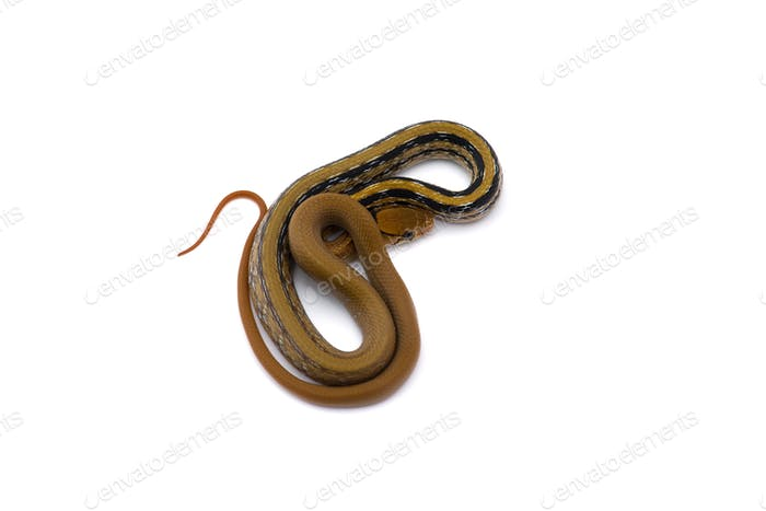 Copper-headed Trinket snake isolated on white background