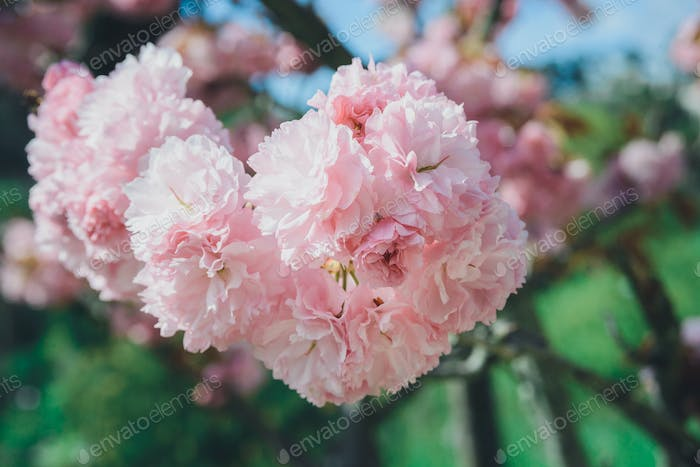 branch of blossom pink cherry or sakura in garden