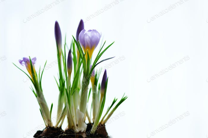 Beautiful purple violet crocuses in pot on white background with copyspace. Spring concept. Free