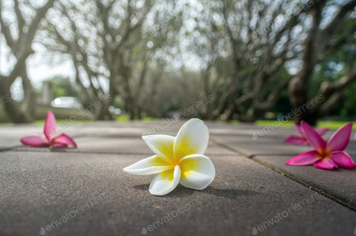Plumeria flower on the road over the photo blurred of tree background