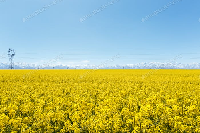 rapeseed flowers bloom in qinghai