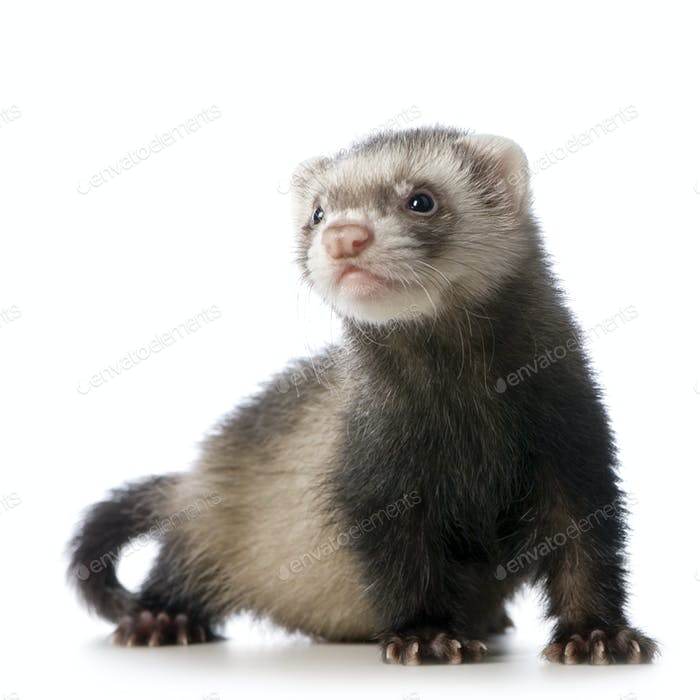 young siamese sable Ferret kit (10 weeks)
