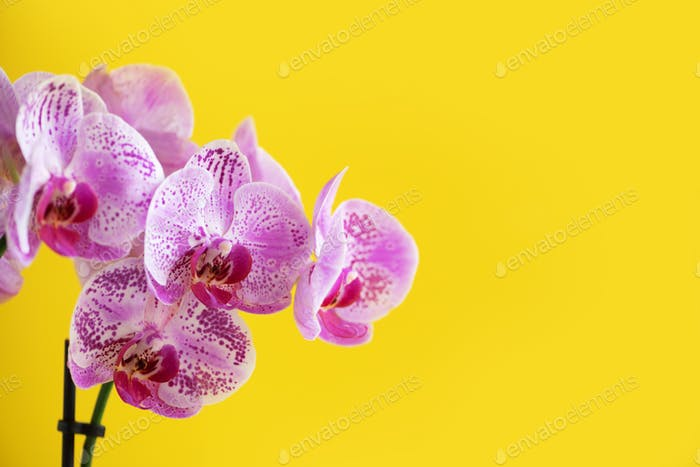 Branch of violet orchid on bright yellow background. Banner with copy space. Spring, woman day
