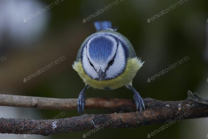 Eurasian blue tit (Cyanistes caeruleus)