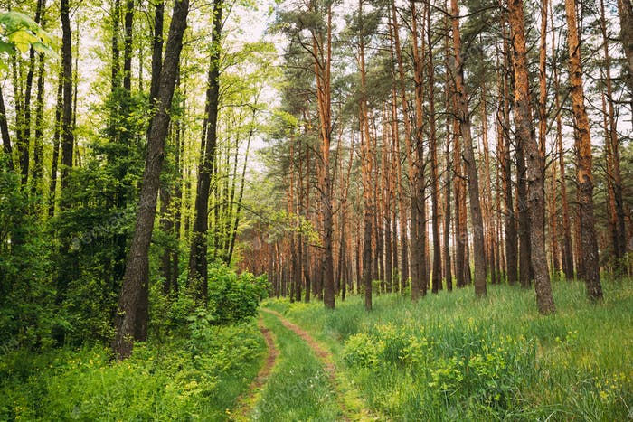Fairy Forest Lane Road Through Summer Green Mixed Deciduous And Coniferous Forest. European Nature