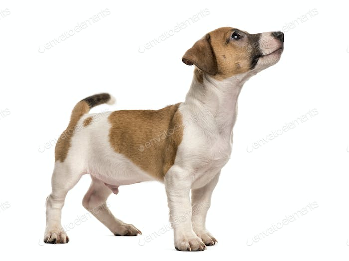 Jack russell standing looking up, isolated on white