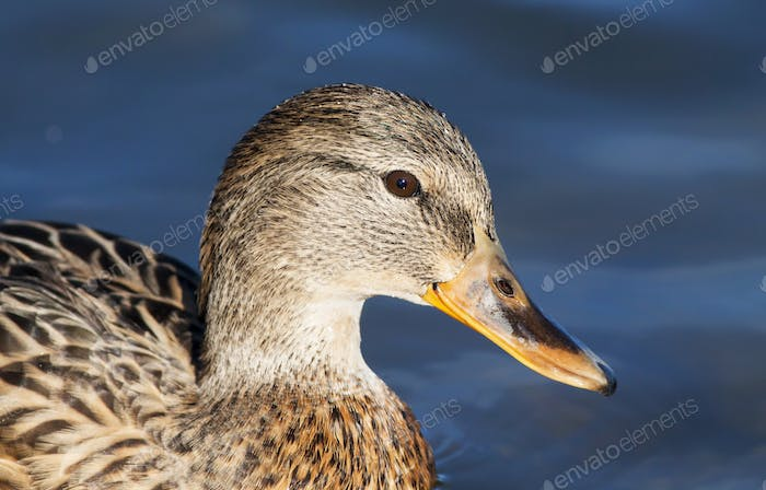 Funny duck close-up
