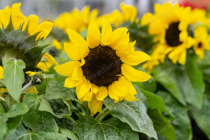 Decorative sunflowers blooming in greenhouse. Cultivation of plants for sale and gardening business