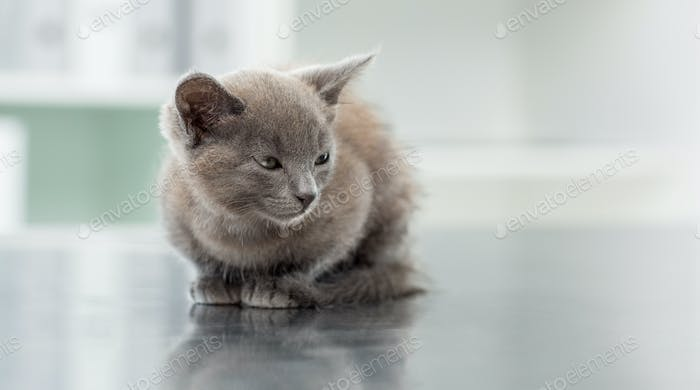 Cute kitten on table in veterinary office