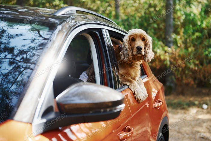 Cute dog sits in the car and looks through the window in the forest