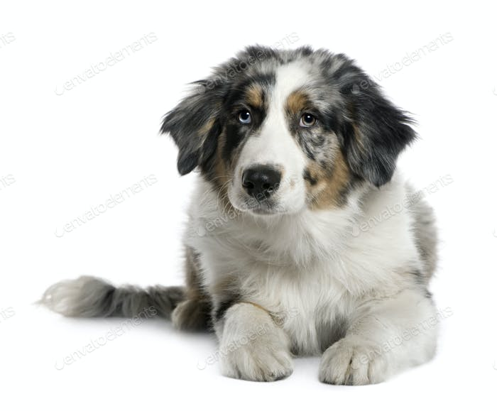Australian Shepherd puppy, 4 months old, in front of white background