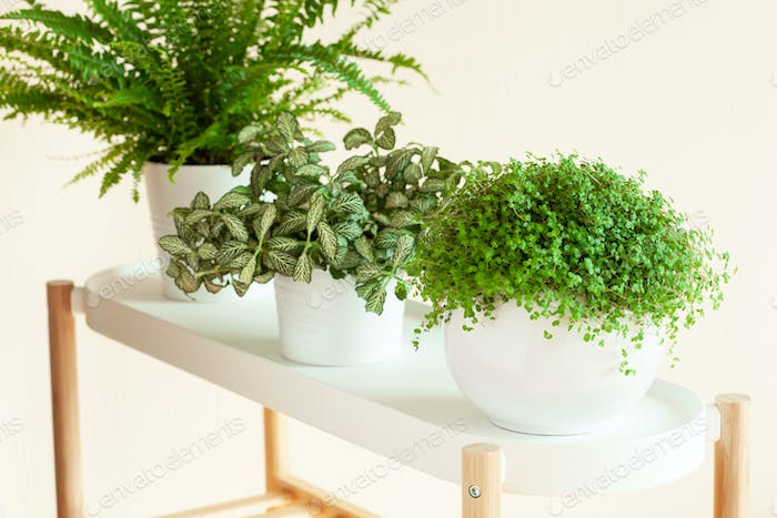 houseplants Nephrolepis, fittonia, Soleirolia soleirolii in whit