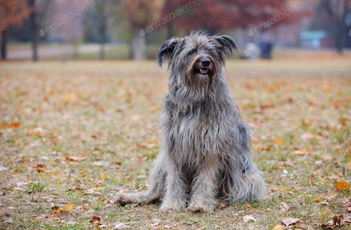 Briard Hund im Herbst Park