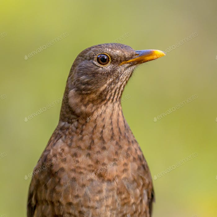 Female blackbird headshot