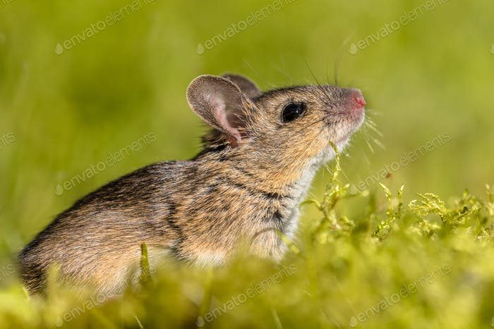 Cute sniffing Wood mouse in green surroundings