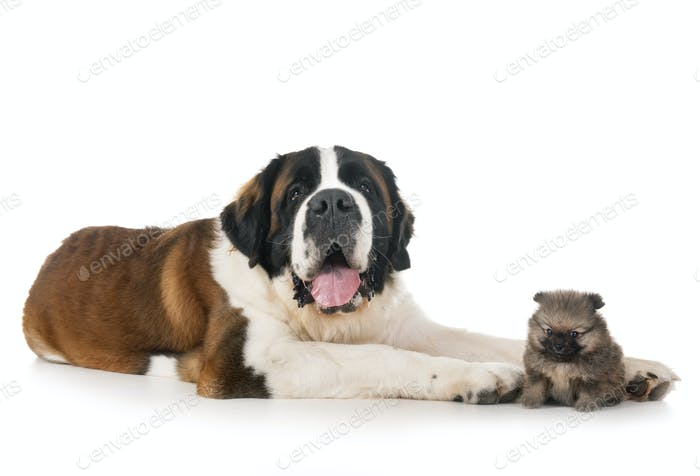 saint bernard and spitz