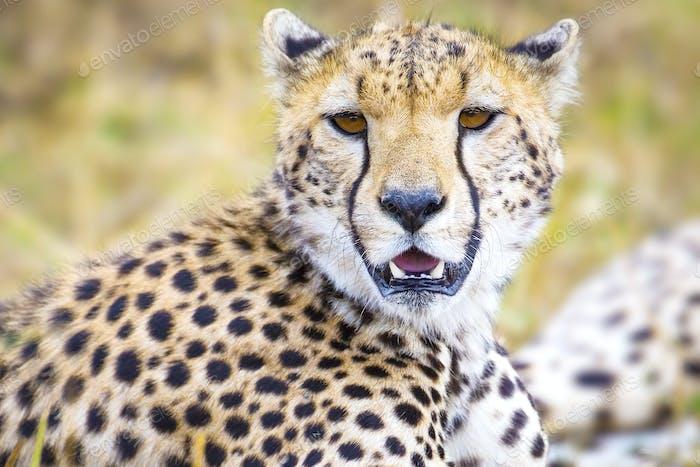 Cheetah at the great plains of Serengeti