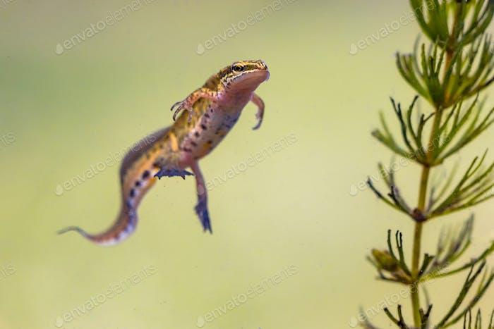 Male Palmate newt swimming in natural aquatic habitat