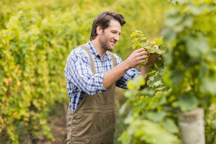 Smiling winegrower harvesting the grapes in a vineyard