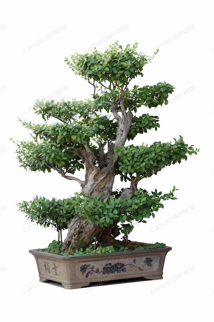 Bonsai-Baum der Ulme