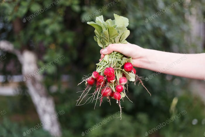 Fresh radish in the woman's hands