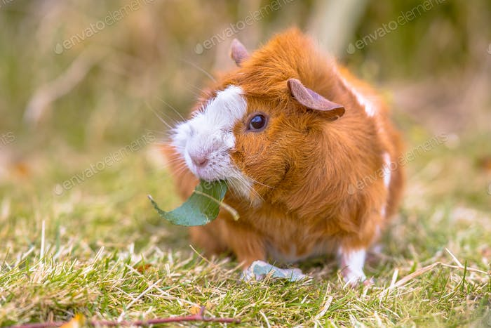 Guinea Pig in backyard