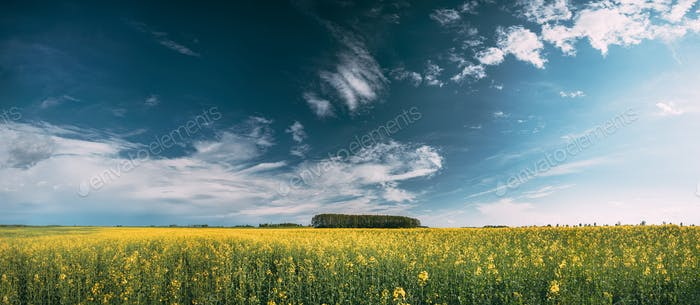 Thumbnail for Blossom Of Canola Yellow Flowers Under Sunny Sky. Rape Plant, Ra