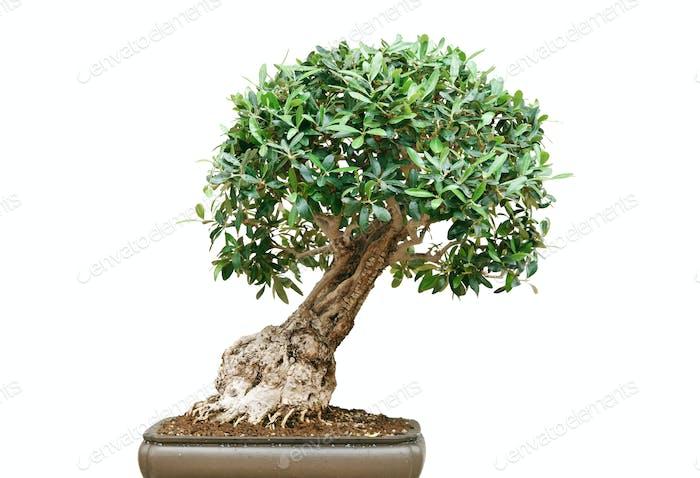 Bonsai-Baum