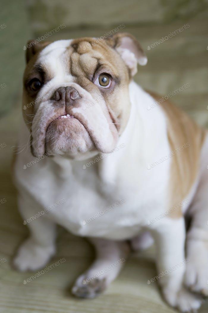 English Bulldog dog breed.