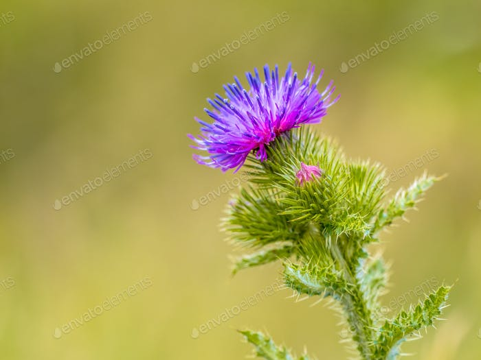 Creeping Thistle purple flower