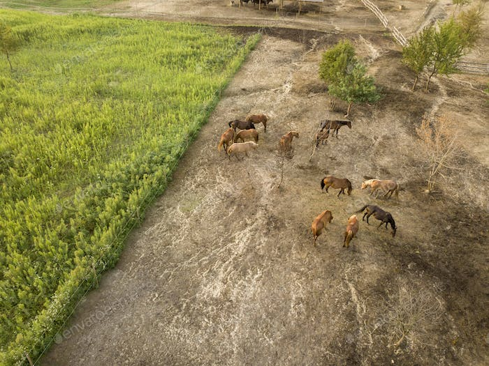 Aerial view from a drone farmland with a group of horses on a walk on a summer day